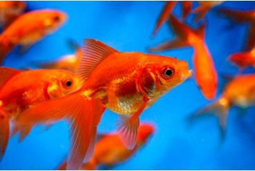 Золотая рыбка для пруда